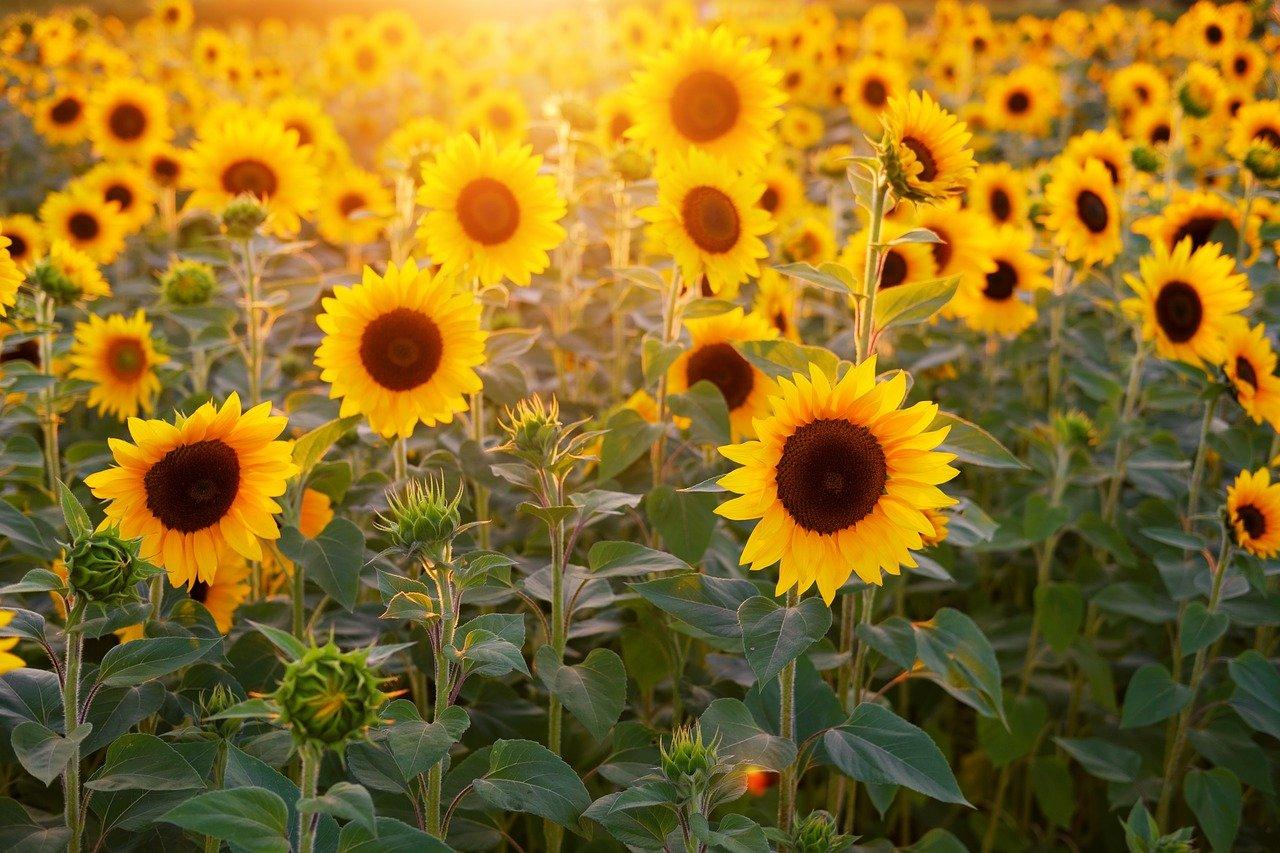 sunflower-3550693_1280